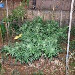marihuana konoplja