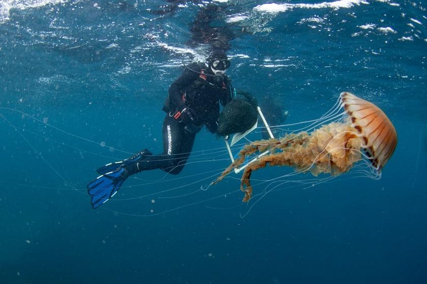 Ogromna kompas meduza snimljena kod splita institut za oceanografiju