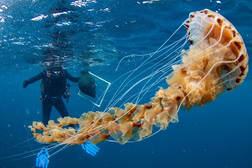 ogromna kompas meduza