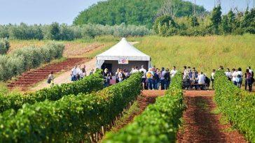 wine walk novigrad vino šetnja vinograd